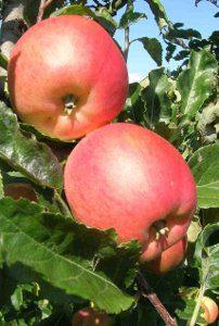 De merveilleuses pommes région Morges